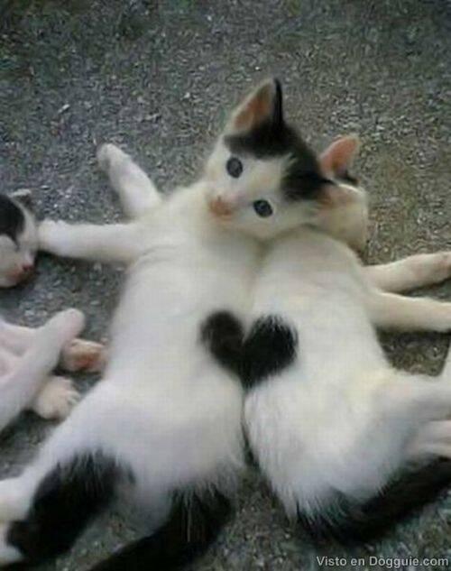 gatos-corazon-1